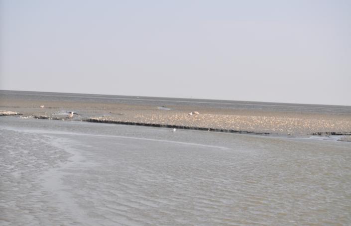 Muschelbank Wattenmeer Priel